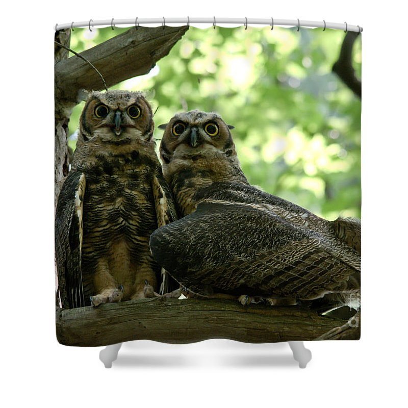 Young Owls Shower Curtain featuring the photograph Great Horned Owls by Cheryl Baxter