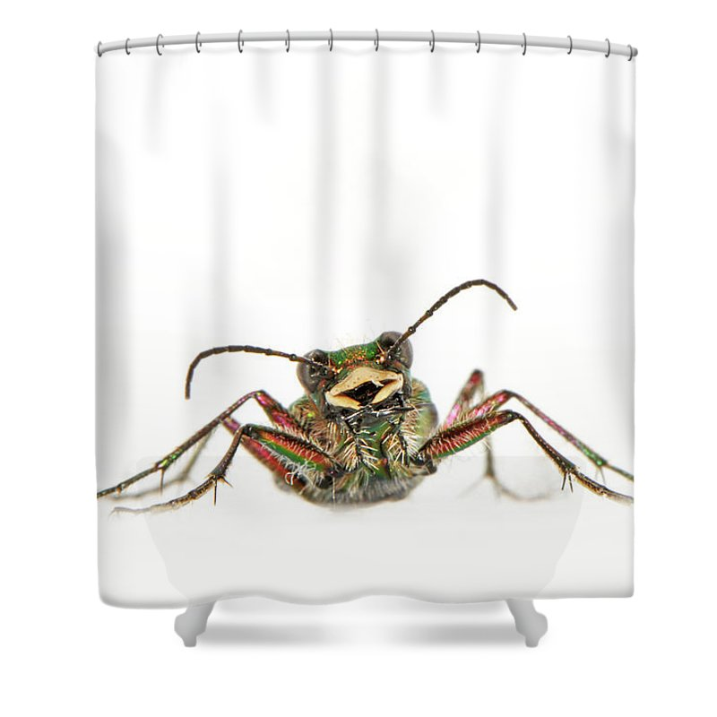 White Background Shower Curtain featuring the photograph Green Tiger Beetle by Robert Trevis-smith
