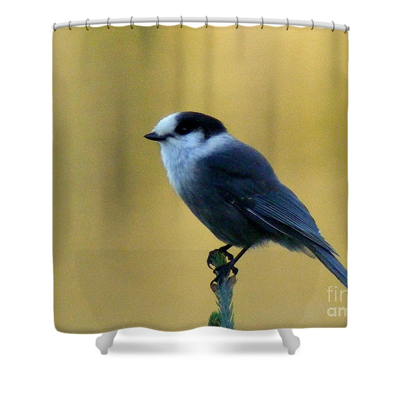 Grey Jay Shower Curtain featuring the photograph Grey Jay by Barbara Griffin
