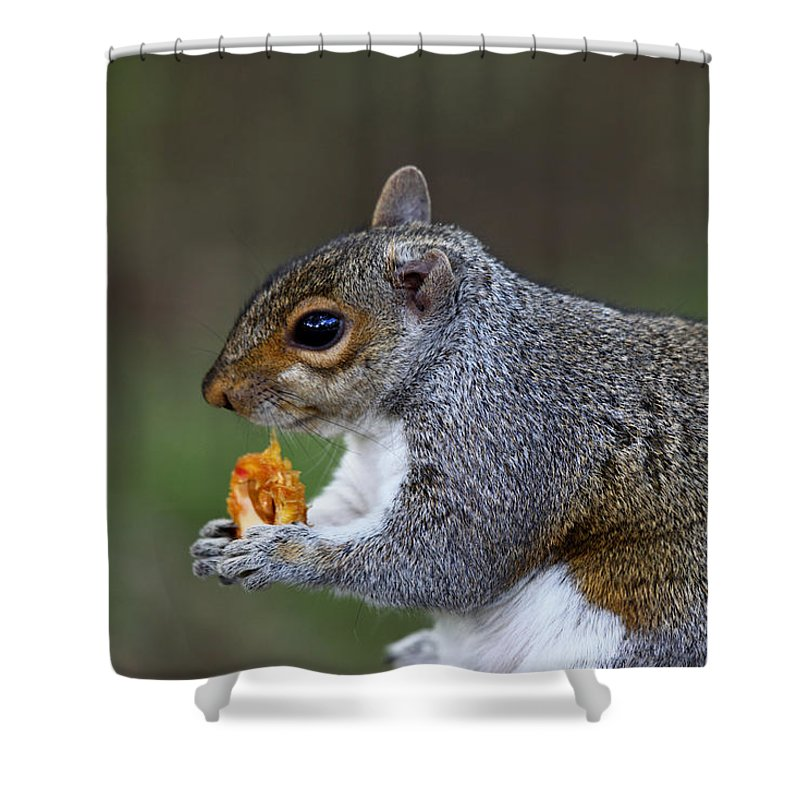 Squirrel Shower Curtain featuring the photograph Grey Squirrel Tucking In by James Brunker