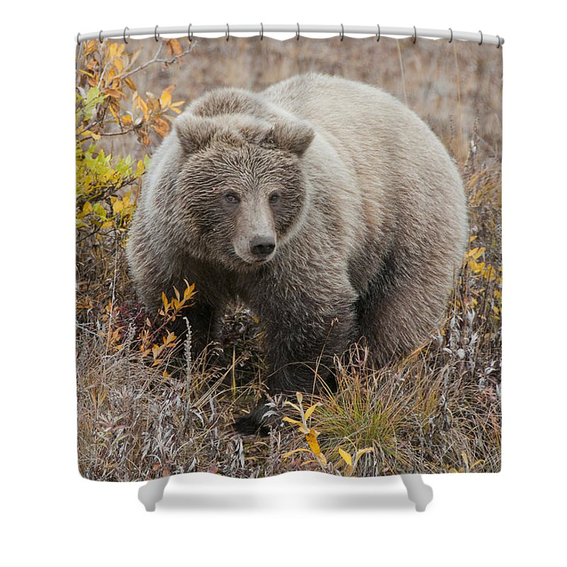 Walking Shower Curtain featuring the photograph Grizzly Amongst Fall Foliage In Denali by Cathy Hart