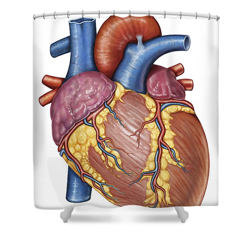 Gross Anatomy Of The Human Heart Shower Curtain For Sale By