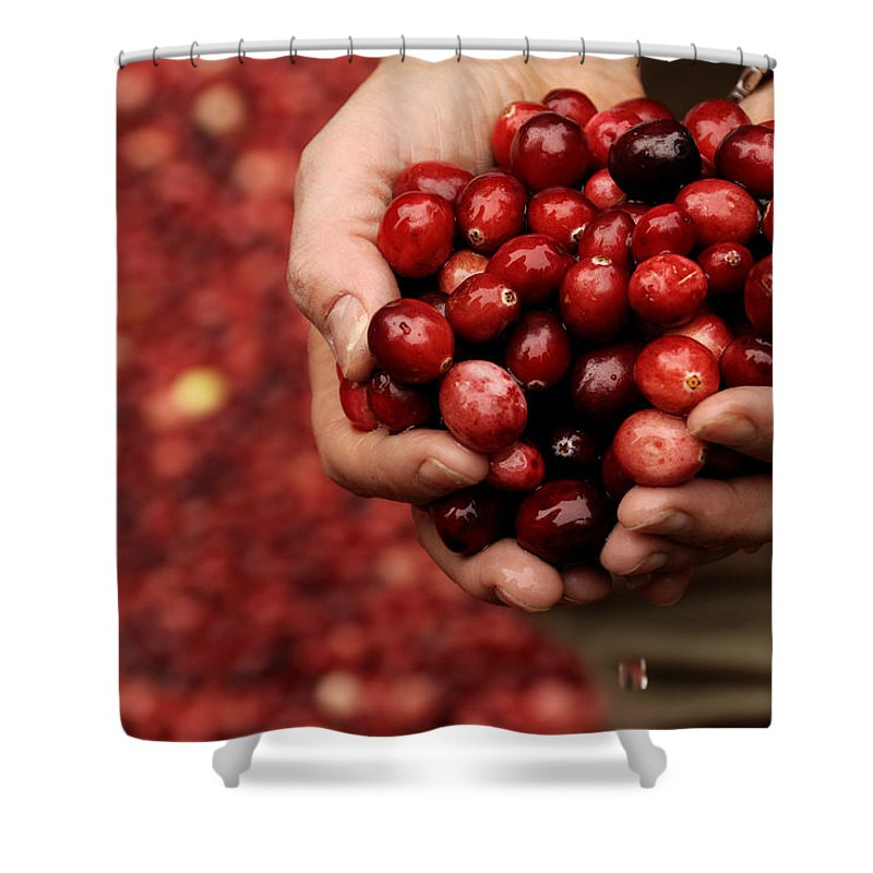Abundance Shower Curtain featuring the photograph Handful Of Fresh Cranberries by Phil Cardamone