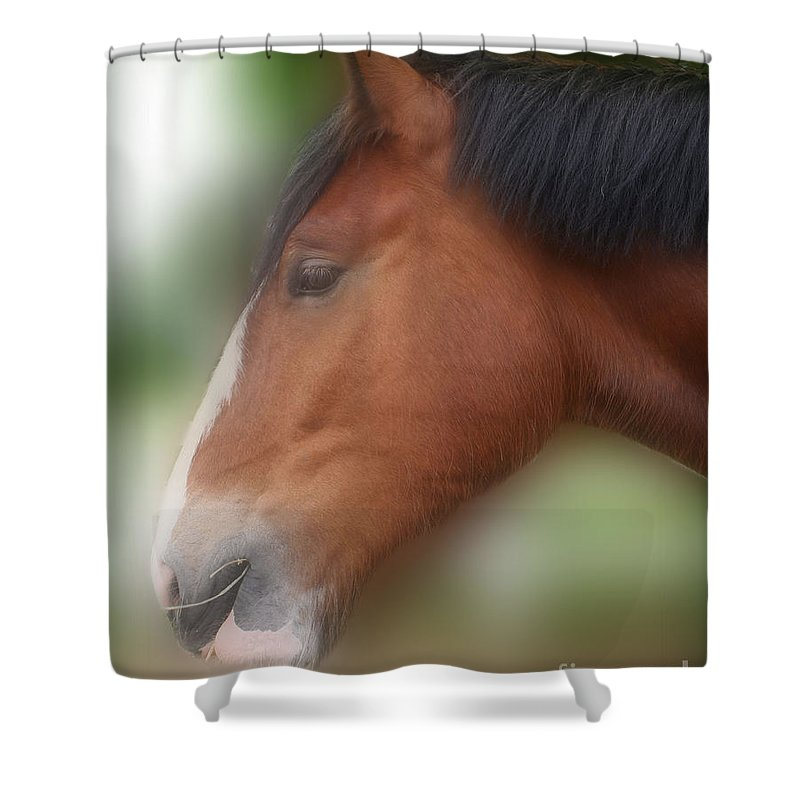 Shire Shower Curtain featuring the photograph Handsome Bay Shire Horse by Smilin Eyes Treasures