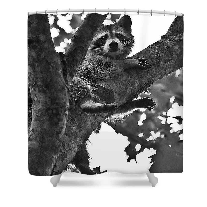 Raccoon Shower Curtain featuring the photograph Hangin Out by DigiArt Diaries by Vicky B Fuller