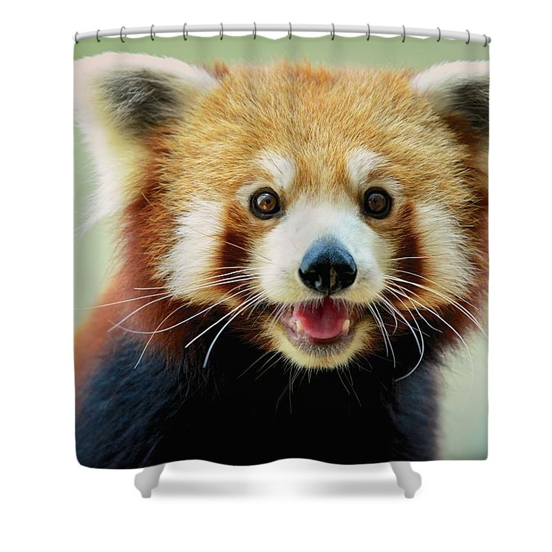 Panda Shower Curtain featuring the photograph Happy Red Panda by Aaronchengtp Photography