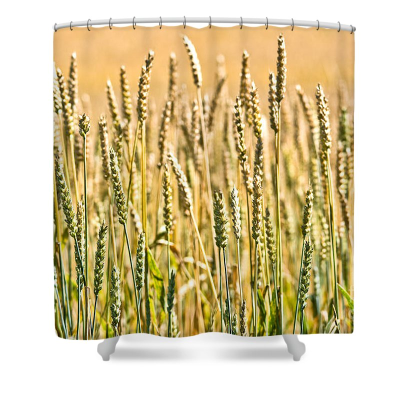 Wheat Shower Curtain featuring the photograph Harvest Time by Cheryl Baxter
