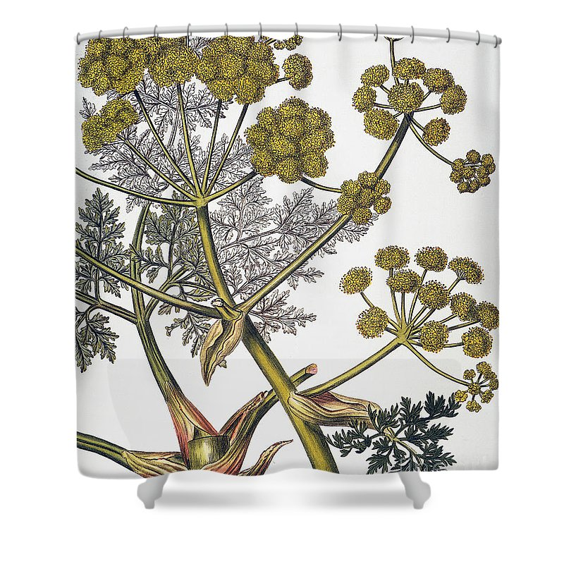 1819 Shower Curtain featuring the photograph Herbal: Fennel, 1819 by Granger