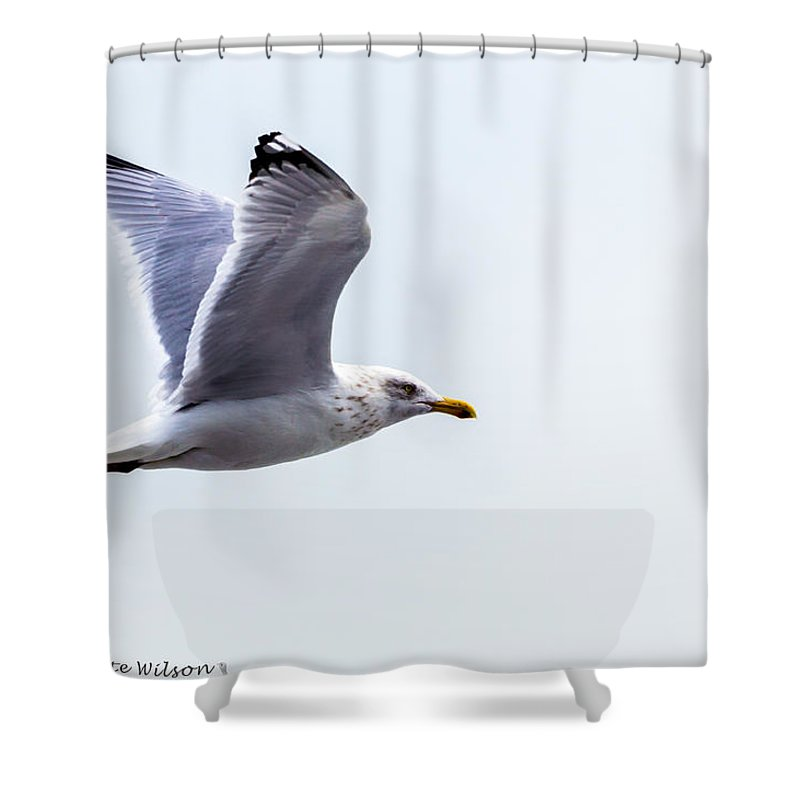Herring Gull Shower Curtain featuring the photograph Herring Gull In Flight by Nate Wilson