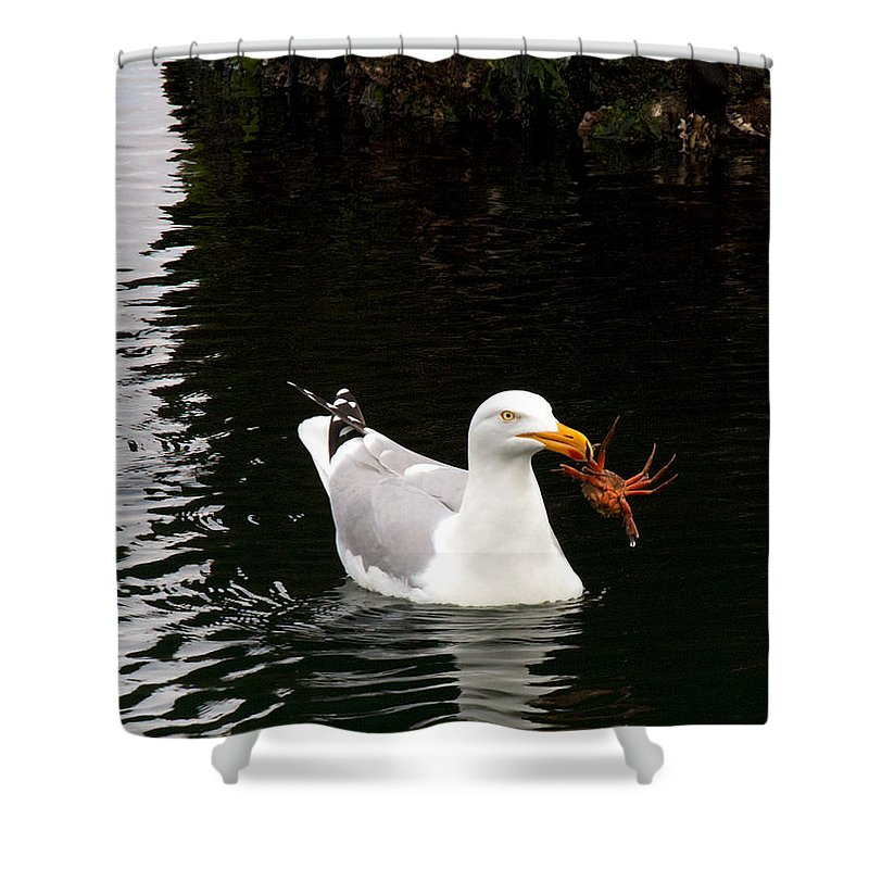 Holland Shower Curtain featuring the photograph Herring Gull With Crab by David Beebe