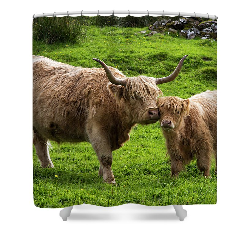 Horned Shower Curtain featuring the photograph Highland Cattle And Calf by John Short / Design Pics