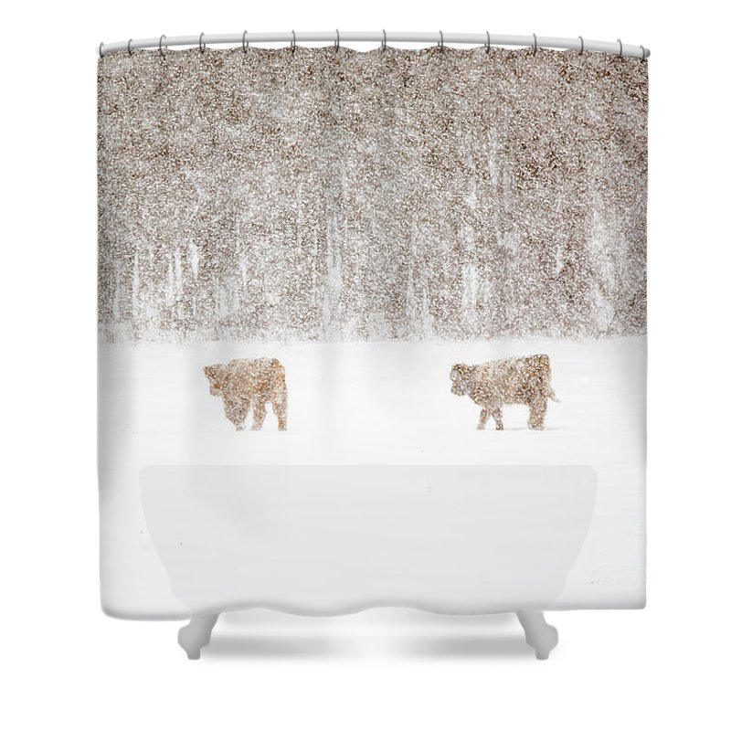 Highland Cattle Shower Curtain featuring the photograph Highland Cattle In The Snow by Cheryl Baxter