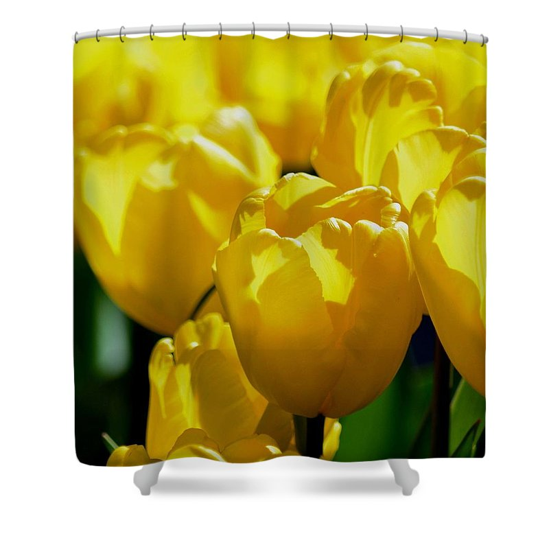 Hill Of Golden Tulips Shower Curtain featuring the photograph Hill Of Golden Tulips by Maria Urso