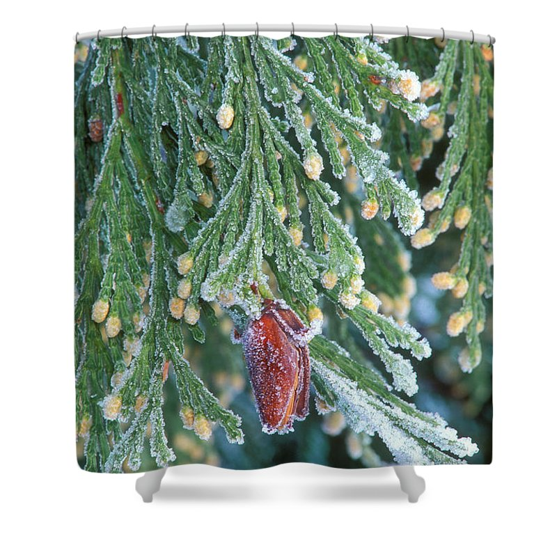 North America Shower Curtain featuring the photograph Hoarfrost On Pine Bough Yosemite National Park by Dave Welling