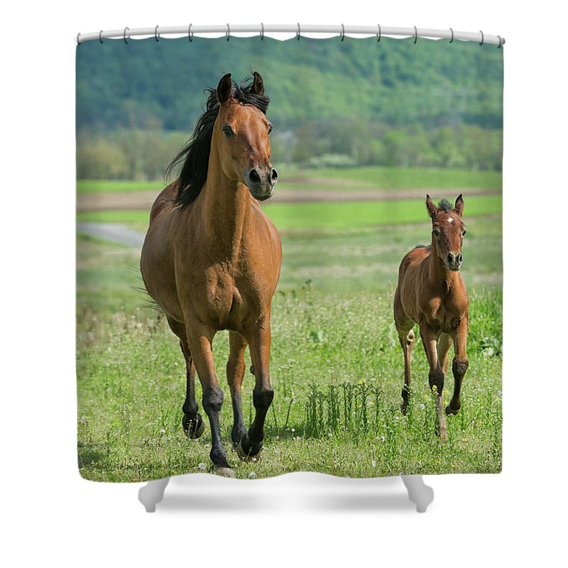 Horse Shower Curtain featuring the photograph Horses Running In Summer Pasture, Mare by Catnap72