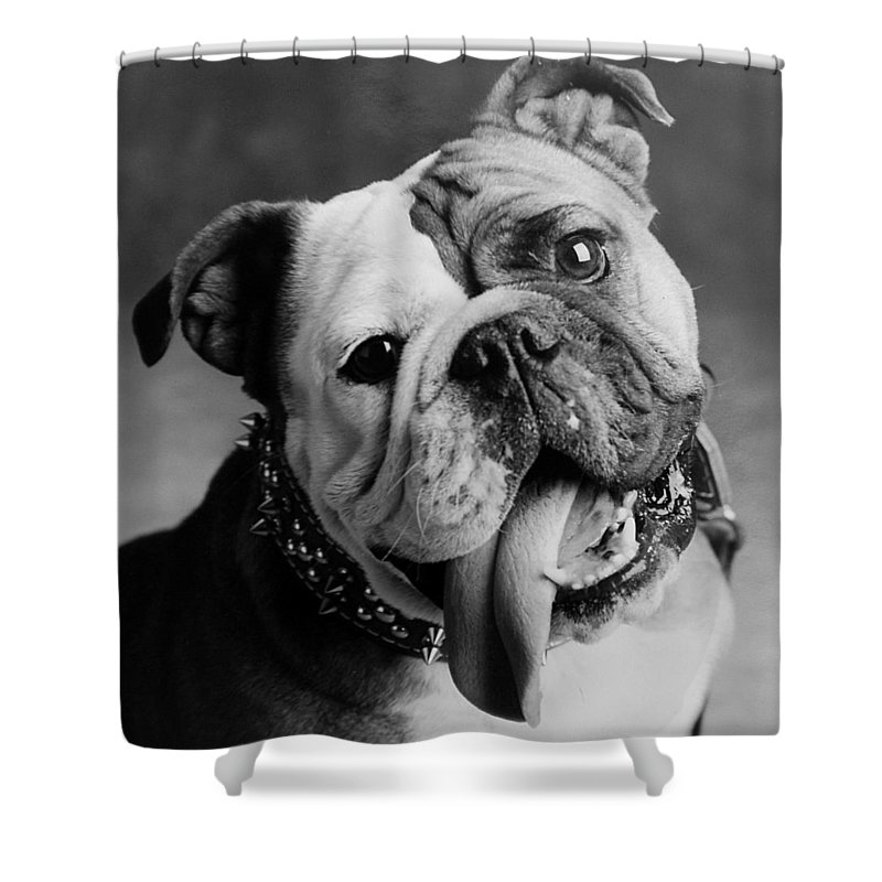 Bull Dog Shower Curtain featuring the photograph Huh by Jill Reger
