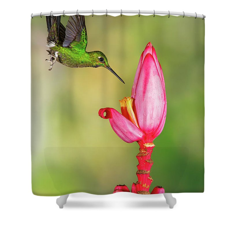Green-crowned Brilliant Shower Curtain featuring the photograph Hummingbird , Green-crowned Brilliant by Kencanning