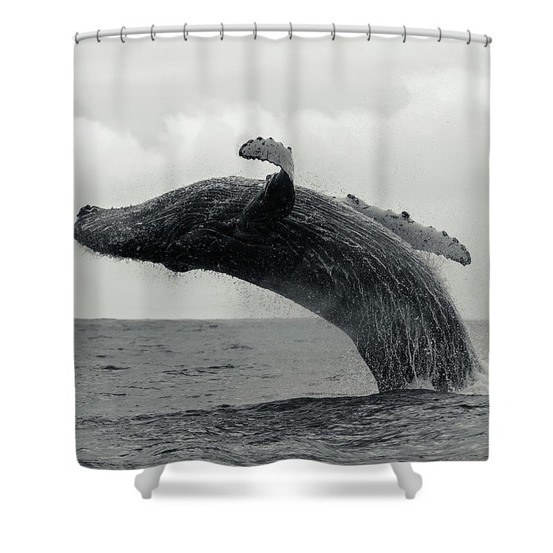 Underwater Shower Curtain featuring the photograph Humpback Whale Breaching Against A by By Wildestanimal