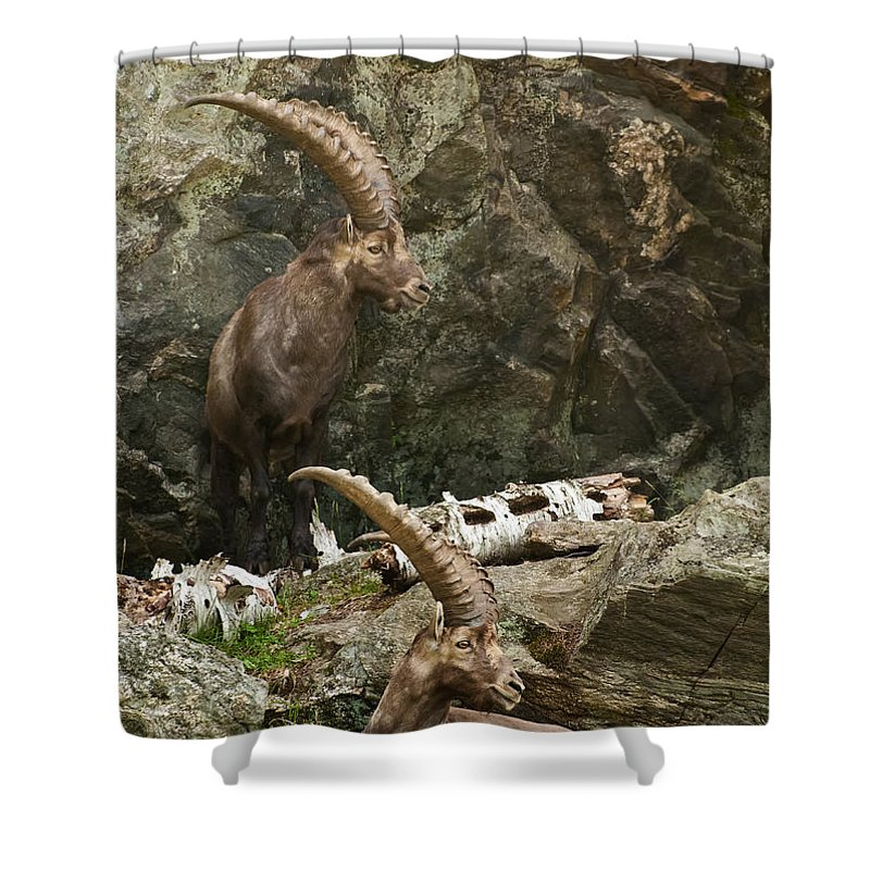 Ibex Shower Curtain featuring the photograph Ibex Pictures 112 by World Wildlife Photography