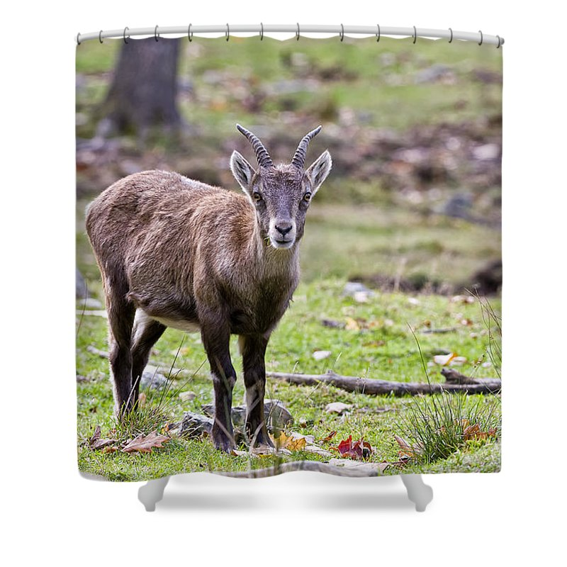 Ibex Shower Curtain featuring the photograph Ibex Pictures 71 by World Wildlife Photography