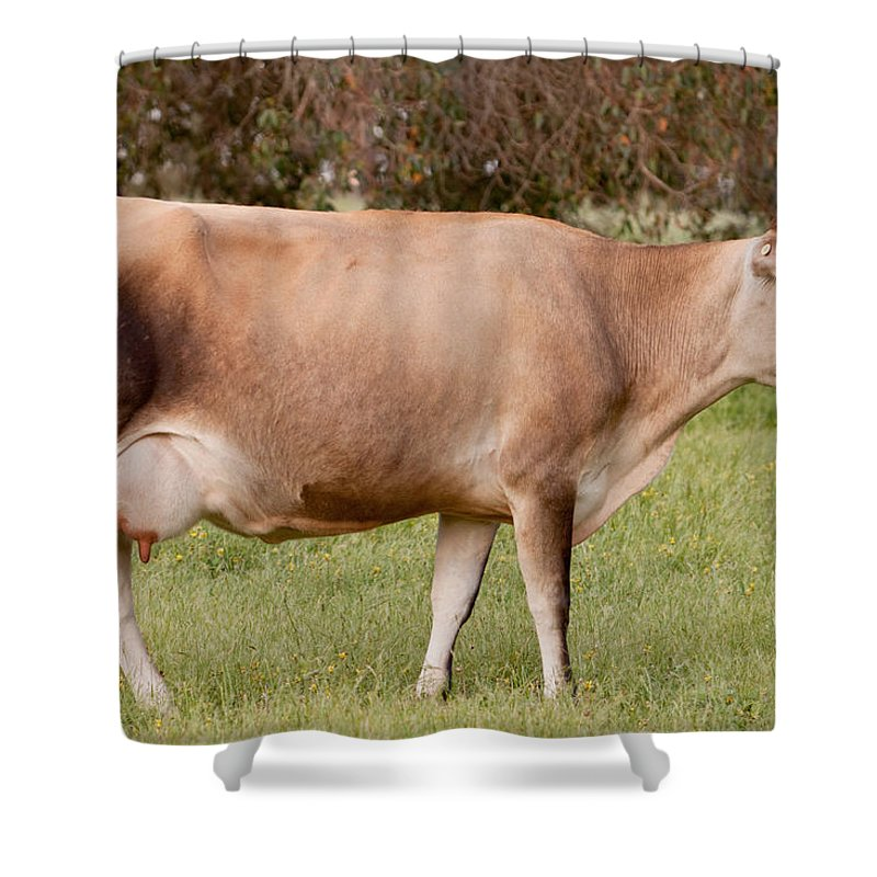 Jersey Shower Curtain featuring the photograph Jersey Cow In Pasture by Michelle Wrighton