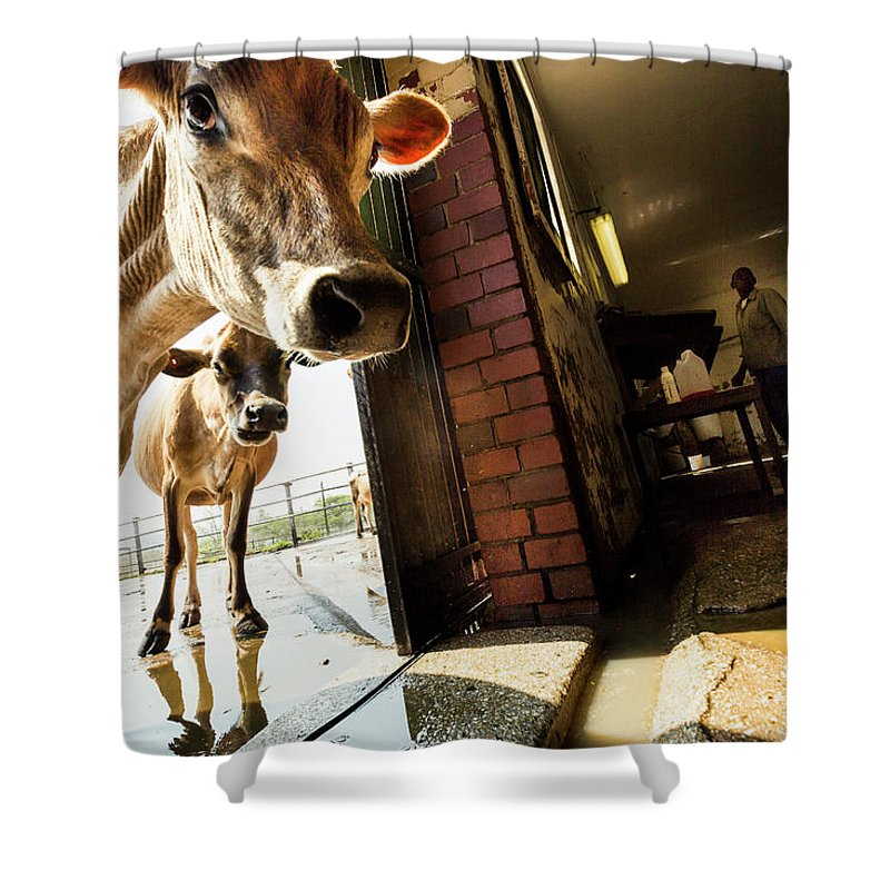 Mature Adult Shower Curtain featuring the photograph Jersey Cows On An Organic Dairy Farm by Matt Mawson