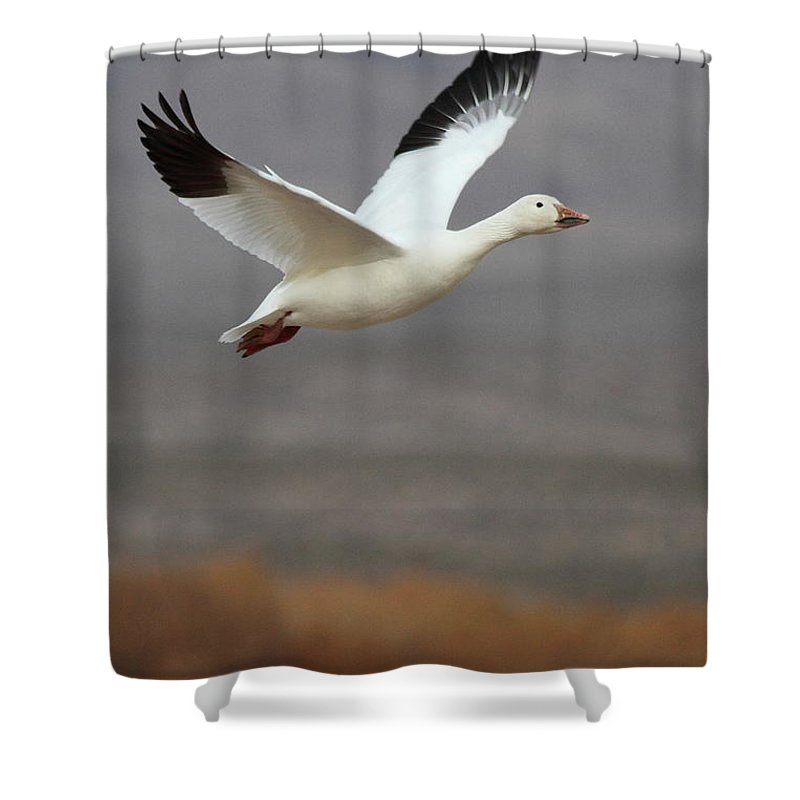 Goose Shower Curtain featuring the photograph keep flying Goose by Ruth Jolly