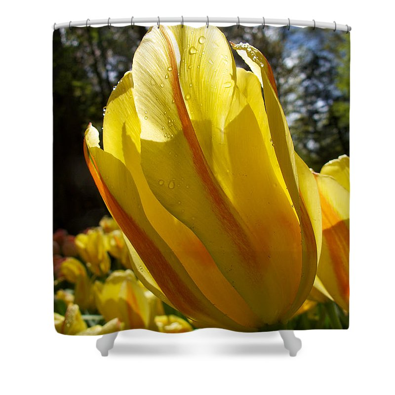 Holland Shower Curtain featuring the photograph Keukenhof Yellow Tulips by David Beebe
