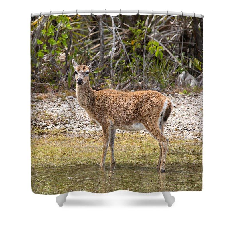 Key Deer Shower Curtain featuring the photograph Key Deer Portrait by John M Bailey