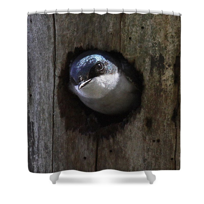 Tree Swallow Shower Curtain featuring the photograph Knock Knock by Mike Dickie