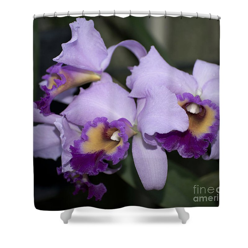Purple Orchid Shower Curtain featuring the photograph Laeliocattleya Chapala by Terri Winkler