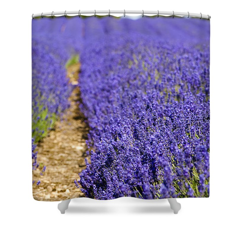 Floral Shower Curtain featuring the photograph Lavender's Blue by Anne Gilbert