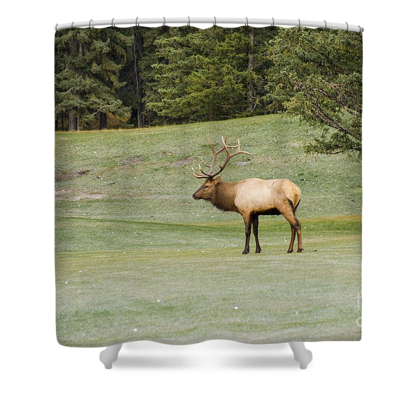 Banaff National Park Canada Parks Tree Trees Fairmont Springs Hotel Golf Course Courses Landscape Landscapes Nature Animal Animals Bull Bulls Elk Creature Creatures Shower Curtain featuring the photograph Leader Of The Pack by Bob Phillips
