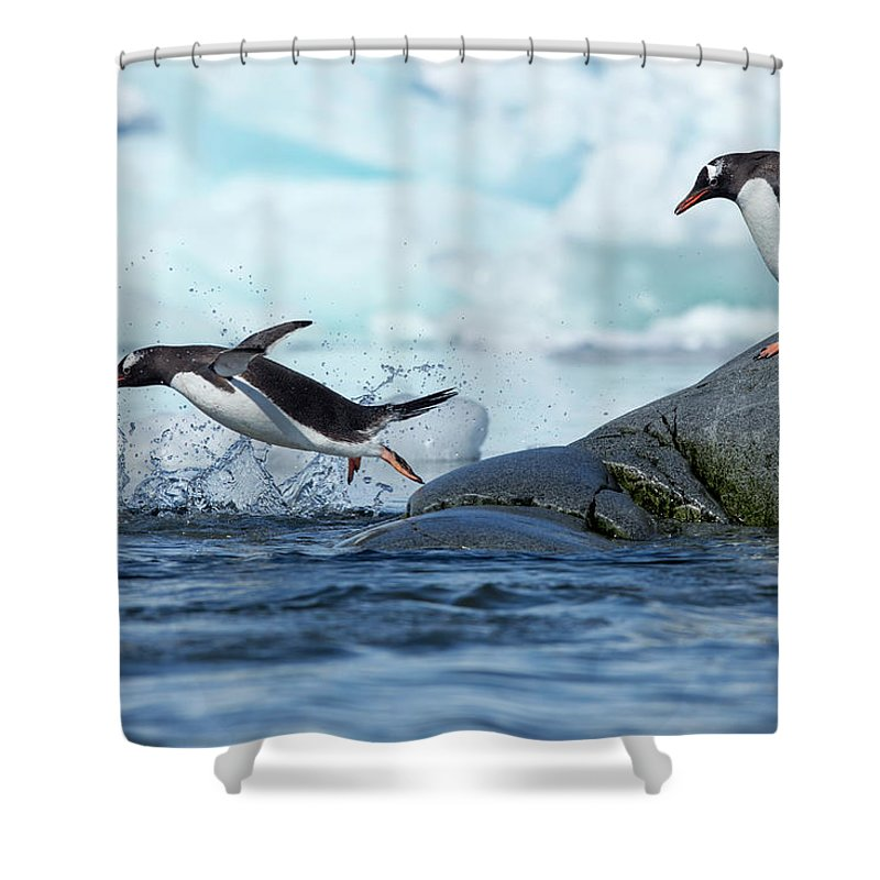 Water's Edge Shower Curtain featuring the photograph Leaping Gentoo Penguins, Antarctica by Paul Souders