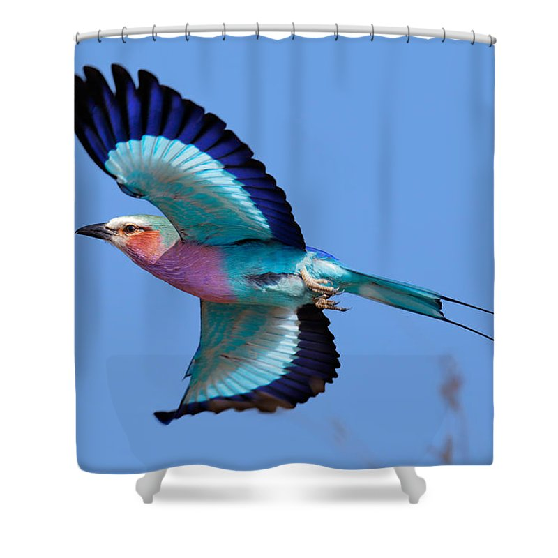 Lilac-breasted Shower Curtain featuring the photograph Lilac-breasted Roller In Flight by Johan Swanepoel