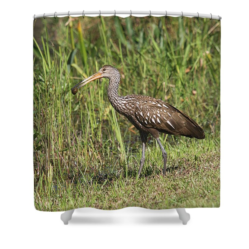 Limpkin Shower Curtain featuring the photograph Limpkin With Apple Snail by Christiane Schulze Art And Photography
