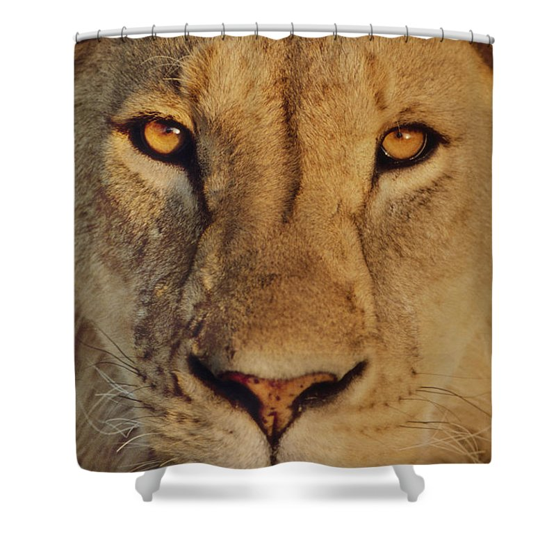 Staring Shower Curtain featuring the photograph Lion Face by Frans Lanting MINT Images