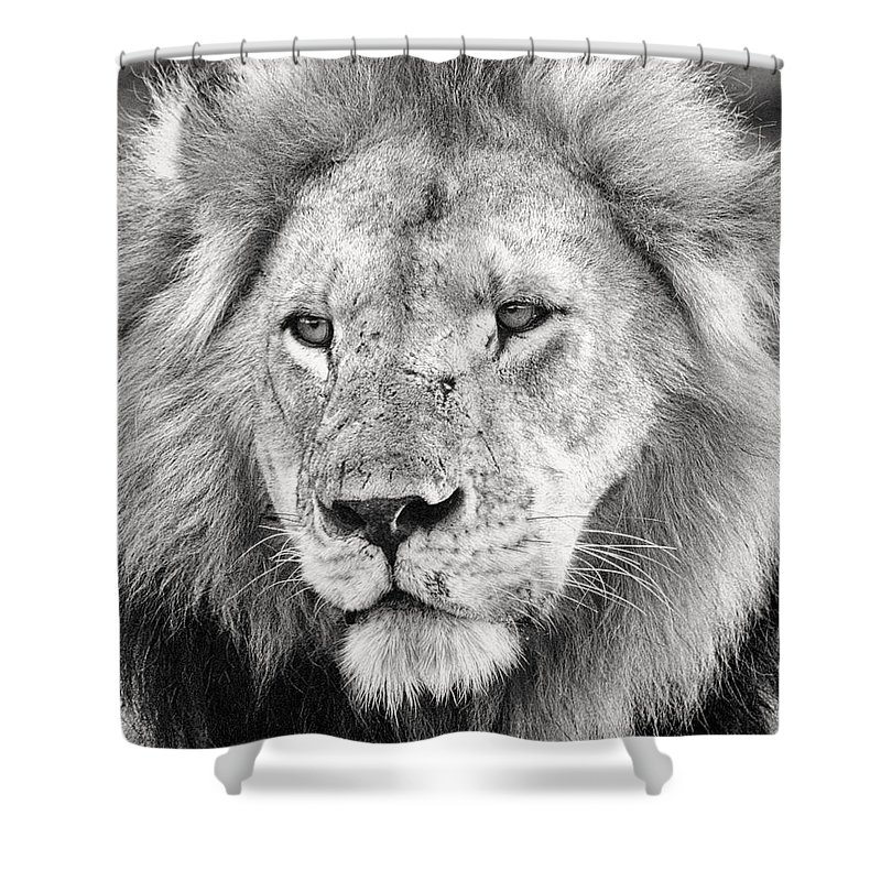 3scape Shower Curtain featuring the photograph Lion King by Adam Romanowicz