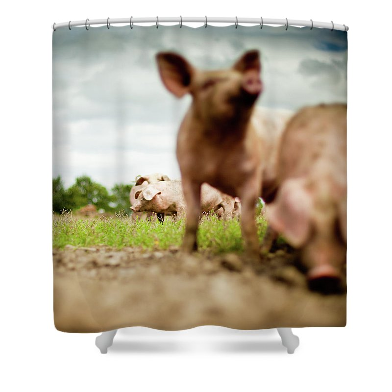 Pig Shower Curtain featuring the photograph Little Pigs by Emmanuelle Brisson