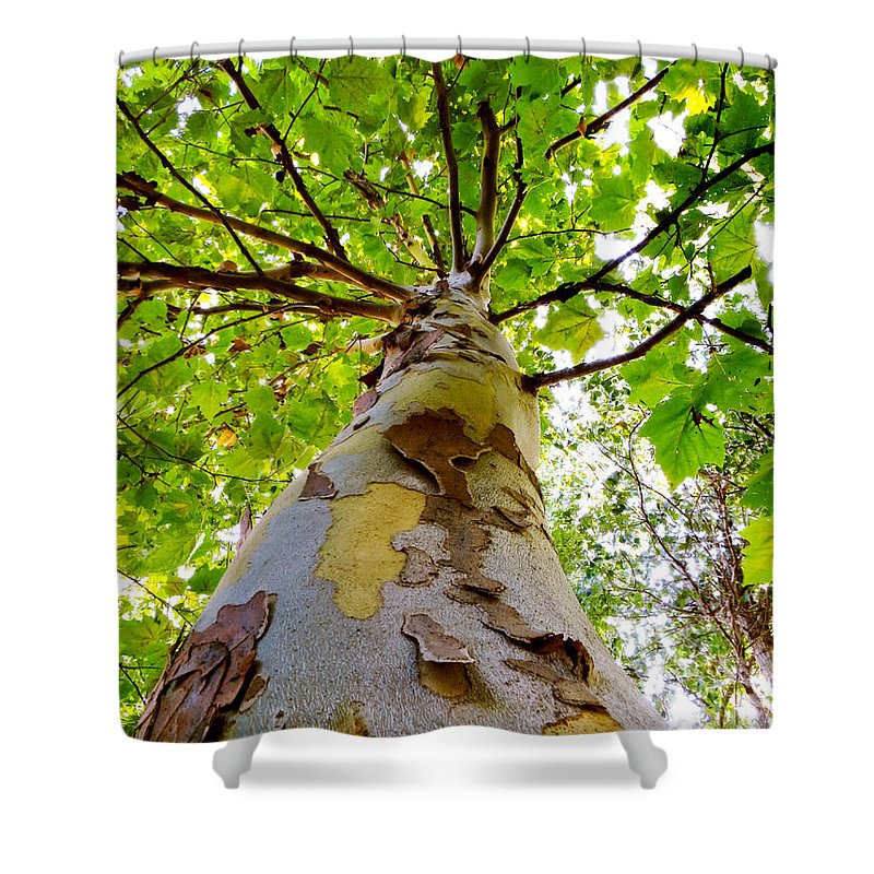 London Plane Tree Shower Curtain featuring the photograph London Plane Tree by Shawna Rowe