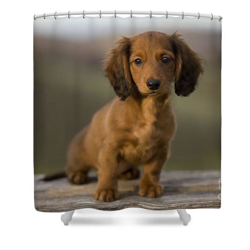 Long Haired Dachshund Shower Curtain Featuring The Photograph Puppy By Jean