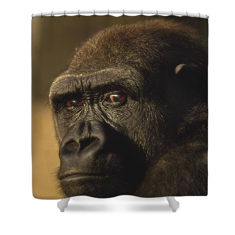Lowland Gorilla Shower Curtain featuring the photograph Lowland Gorilla by Frans Lanting MINT Images