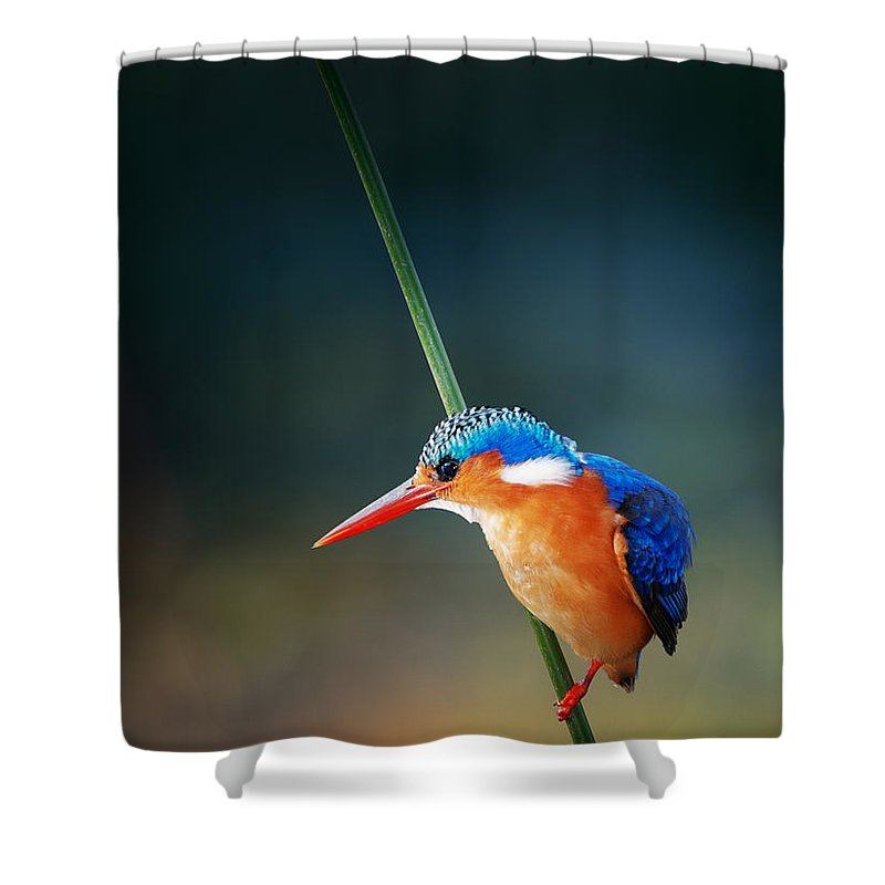 Wild; Wildlife; Animal; Bird; African; Africa; Safari Animals; Wilderness; Nature; Outdoor; Nobody; Kruger; National; Park; Kingfisher; Malachite; Alcedo; Cristata; Portrait; One; Sit; Perch; Rest; Cling; Branch; Side; View; Reed; Exotic; Colour; Colourful; Color; Colorful; Feather; Orange; Blue; Red; Small; Sharp; Bill; Beak; Long Shower Curtain featuring the photograph Malachite Kingfisher by Johan Swanepoel