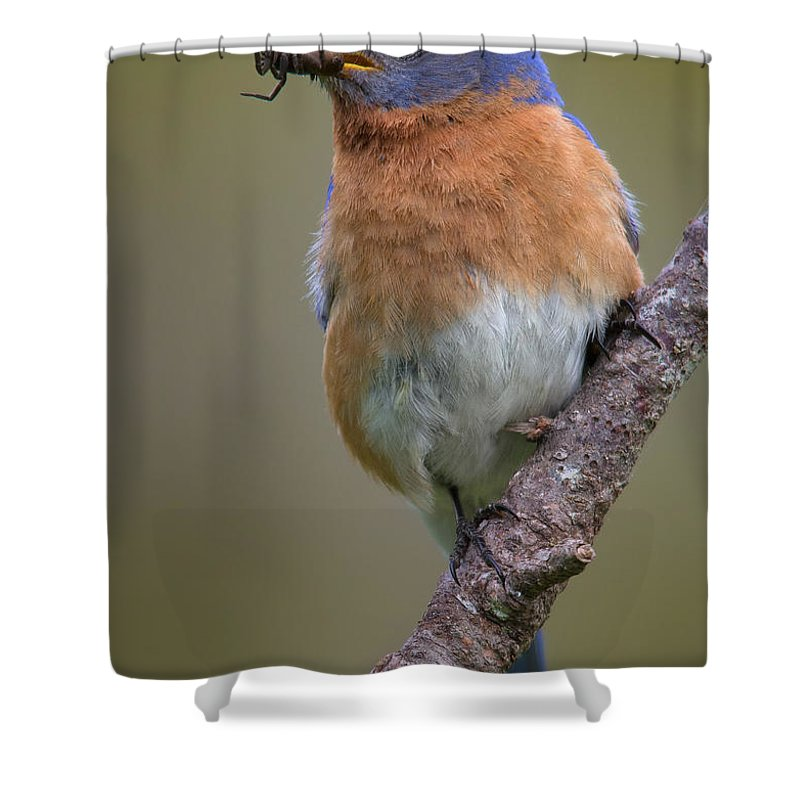 Eastern Bluebird Shower Curtain featuring the photograph Male Eastern Bluebird With Spider by Jerry Fornarotto