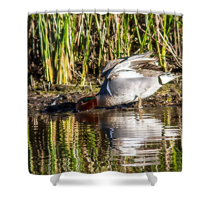 Duck Shower Curtain featuring the photograph Male Teal by Brian Williamson