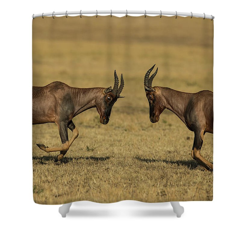 Horned Shower Curtain featuring the photograph Male Topis Fighting During Mating Season by Manoj Shah