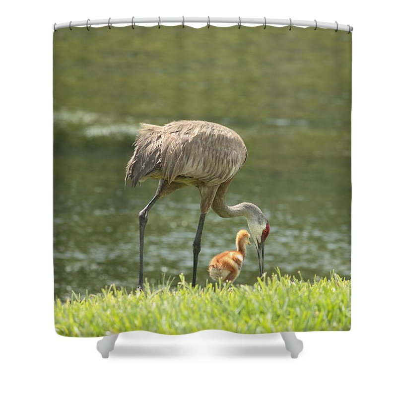 Sandhill Crane Shower Curtain featuring the photograph Mama And Chick by Carol Groenen
