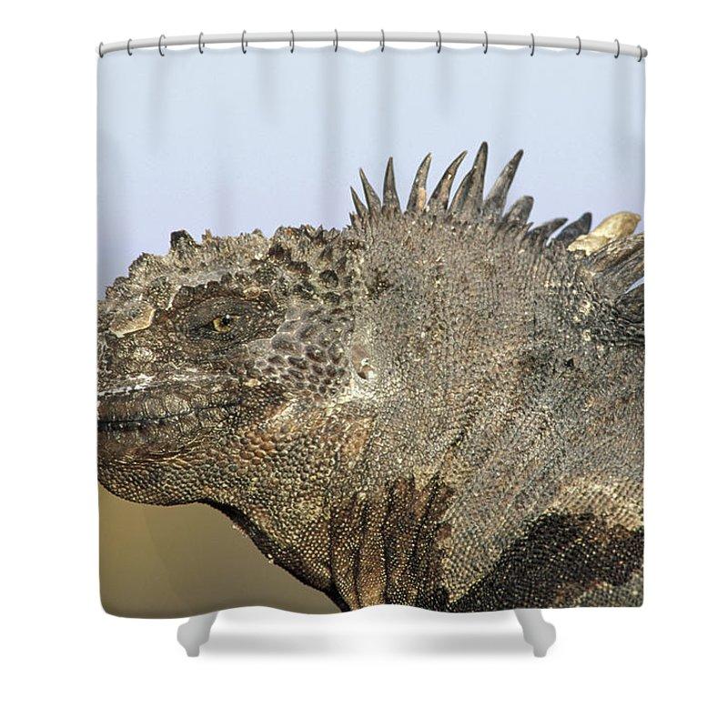 Feb0514 Shower Curtain featuring the photograph Marine Iguana Male Santa Cruz Island by Tui De Roy