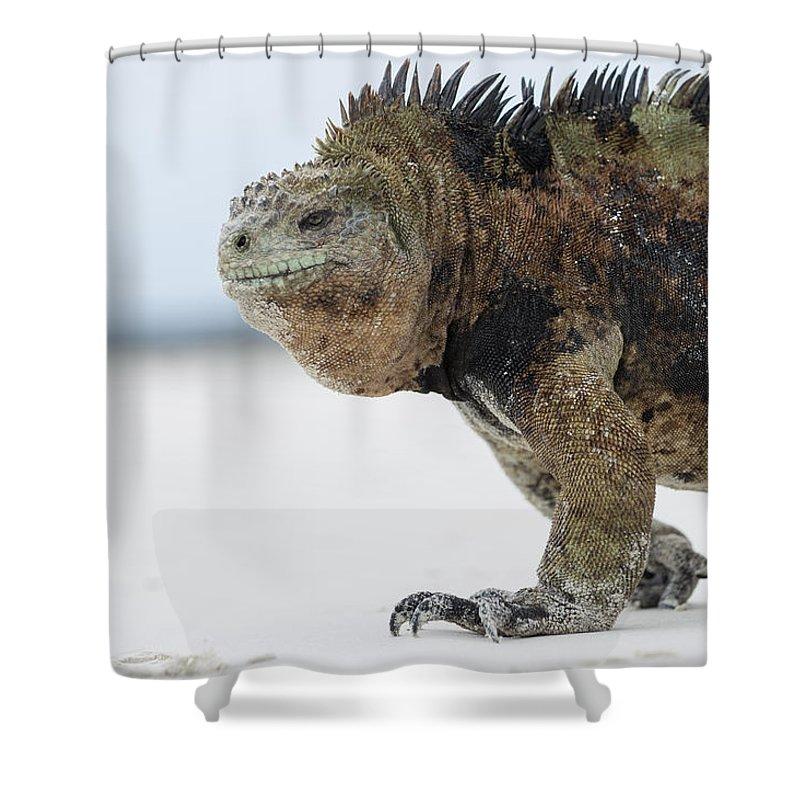 Tui De Roy Shower Curtain featuring the photograph Marine Iguana Male Turtle Bay Santa by Tui De Roy
