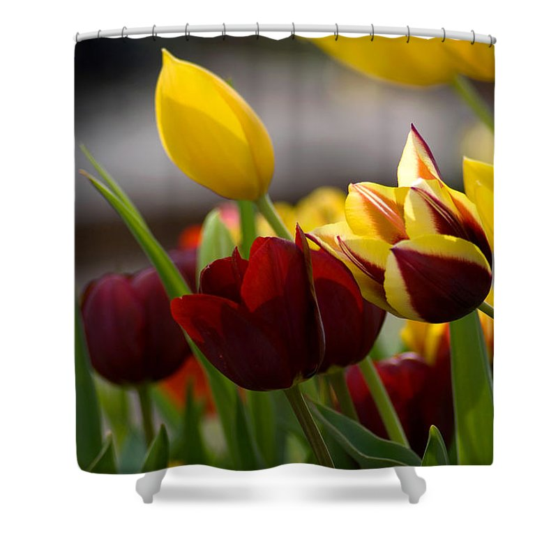 Flower Shower Curtain featuring the photograph Maroon And Gold Tulips by Benjamin Reed